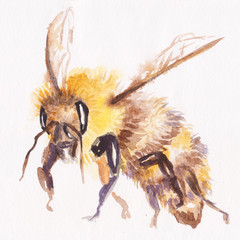 Image of flying honey bee on white background.   watercolor