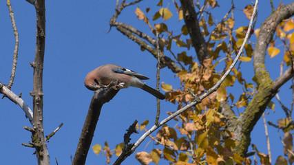 Ghiandaia posata sul ramo di un albero, in autunno