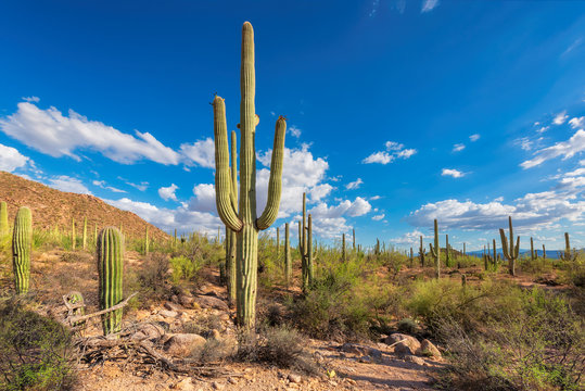 Giant saguaros in Saguaro National Park, Tucson, Arizona, USA