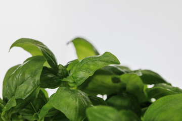 close up view of green fresh basil leaves isolated on white