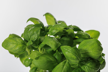 green fresh basil leaves isolated on white
