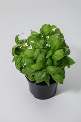 fresh green basil growing in flowerpot on white background
