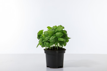 fresh green basil growing in flowerpot isolated on white