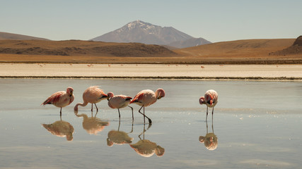 Andean flamingo birds at Laguna Colorada Lake in the Salar de Uyuni salt flats in Bolivia.