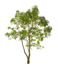 Millingtonia hortensis tree isolated on white background