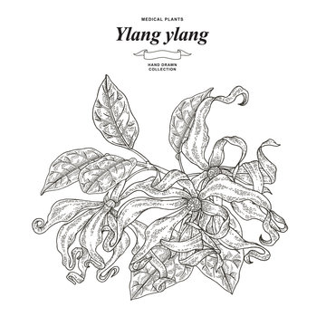 Ylang-ylang flowers and leaves. Hand drawn branch ylang or Cananga tree isolated on white background. Medical plants collection. Vector illustration engraved.