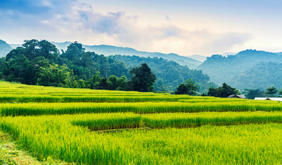 Green and yellow color terraced rice field in north of Thailand