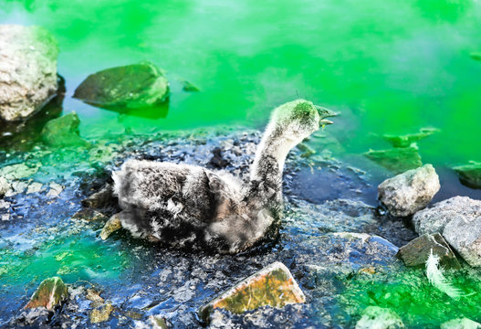 Bird stuck in polluted green water with tar. Dying animals in industrial wastes. Dirty rivers and oceans with oil. Small goose in danger. Environmental problem. Harmful human. Ecological disaster.