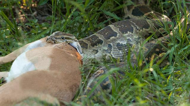 Large Phaython snaker devours Antelope in South Africa