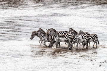 Motion blur image of zebras crossing the Mara River