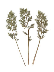 Composition of the carrot tops. Pressed and dried herbs. Scanned image. Vintage herbarium. Isolated white.