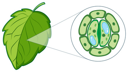 Diagram showing plant cell