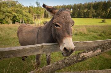 Tuinposter Ezel A donkey stands on the meadow in natural landscape. He looks over wooden fence into the camera.
