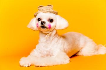 dog,반려견,강아지,멍멍이,푸들,포유동물,애견미용,애견,강아지,멍멍,개,귀여운,반려견사진,귀여운강아지,새끼강아지,pet,애완동물