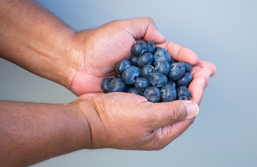 ripe fresh blueberries in the cupped hands of an African American man against a solid background