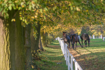 konie na wybiegu, jesienny poranek - fototapety na wymiar