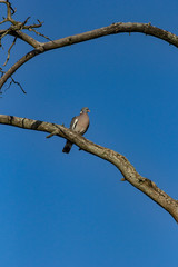 Dove on tree branch