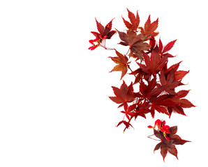 Fototapeta Autumn leaves. Japanese Red Autumn maple tree leaves Isolated on white background. Acer palmatum obraz