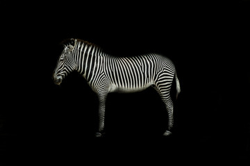 Wall Murals Zebra Zebra on black background