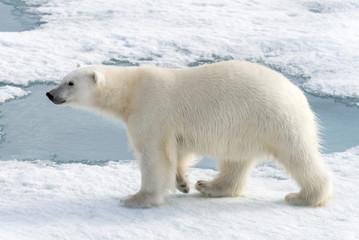 Poster Ijsbeer Wild polar bear (Ursus maritimus) going on the pack ice
