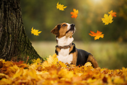Mixed breed dog with autumn leaves looking up