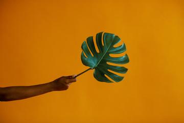 Black hand holds monstera leaf