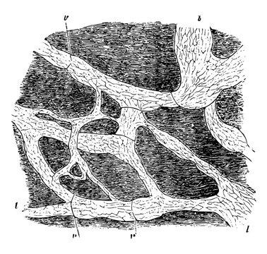 Lymphatics of Rabbit Diaphragm vintage illustration.