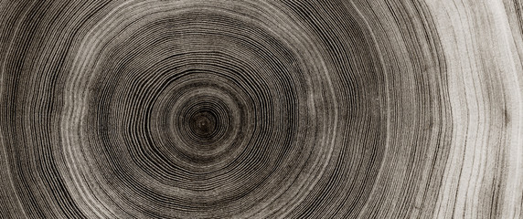 Poster Wood Warm gray cut wood texture. Detailed black and white texture of a felled tree trunk or stump. Rough organic tree rings with close up of end grain.