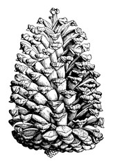 Cuban pine pinus cubensis Griseb.. Two to thirds natural size. open cone vintage illustration.