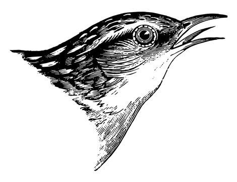 Short billed Marsh Wren vintage illustration.