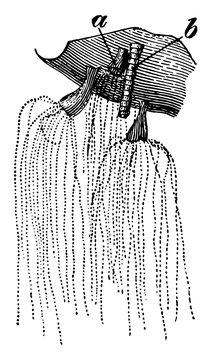 Lion Mane Jellyfish vintage illustration.