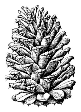 Loblolly pine pinus toeda L.. Two to thirds natural size. mature open cone vintage illustration.