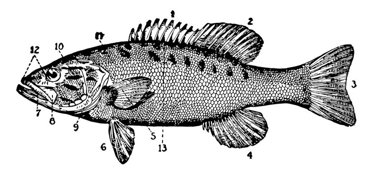 Small Mouthed Black Bass vintage illustration.