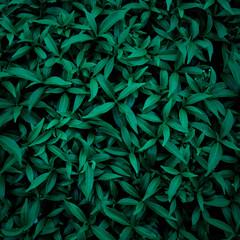 green leaf natural for background, tropical leaf, tiny green leaf