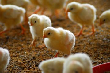 chikens runing