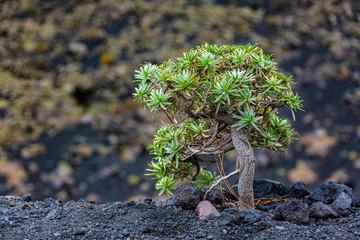 Printed kitchen splashbacks Bonsai Balsam-Wolfsmilch (Euphorbia balsamifera) auf La Palma