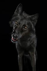 Ein Mischling aus schwarzem Hund und schwarzem Wolf. Blick in die Kamera. Studiofoto vor schwarzem Hintergrund
