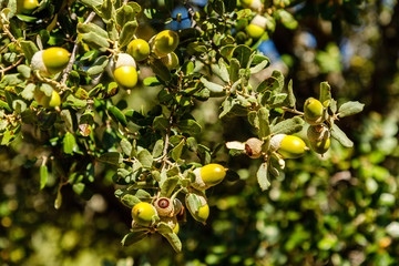 oak acorns on the tree branch