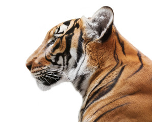 Wall Mural - Detailed portrait taken from profile of a beautiful young tiger isolated on white background