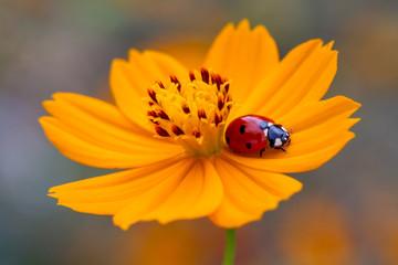 Fotobehang Lieveheersbeestjes ladybug on a flower