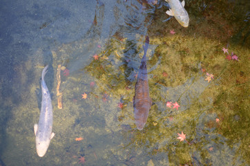 Goldfish And Autumn Leaves In A Tradition Japanese Pond.