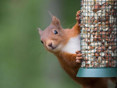 Ecureuil roux (Sciurus vulgaris) accroché à une mangeoire remplie de cacahuètes. Portrait