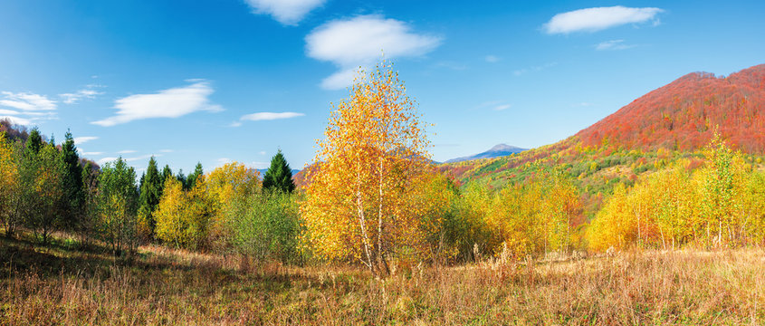 beautiful panoramic landscape in autumn. birch trees in golden foliage. distant mountain in fall colors. sunny weather with fluffy clouds on the blue sky