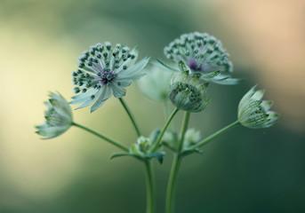 Canvas Afdrukken  - Astrantia kwiaty
