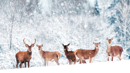 Fototapete - A group of beautiful male and female deer in the snowy white forest. Noble deer (Cervus elaphus).  Artistic Christmas winter image. Winter wonderland.