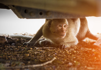 Monkey hide below the car looking the stranger. Monkey scared people and hide.