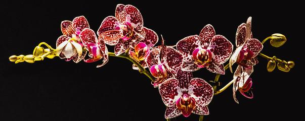 Falenopsis,  ćmówka, Phalaenopsis multiflora roślina z rodziny storczykowatych, orchidea, storczyk