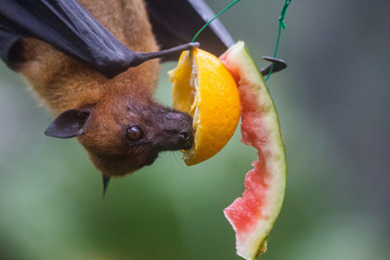 Closeup portrait of male fruit bat also known as flying fox hanging upside and down eating juicy orange and watermelon