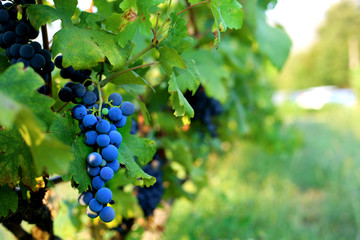 Black grape hanging on the branch in the summer day. Harvest time. Wine production. Fototapete