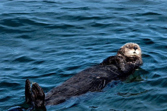 A brown sea otter floating on its back.